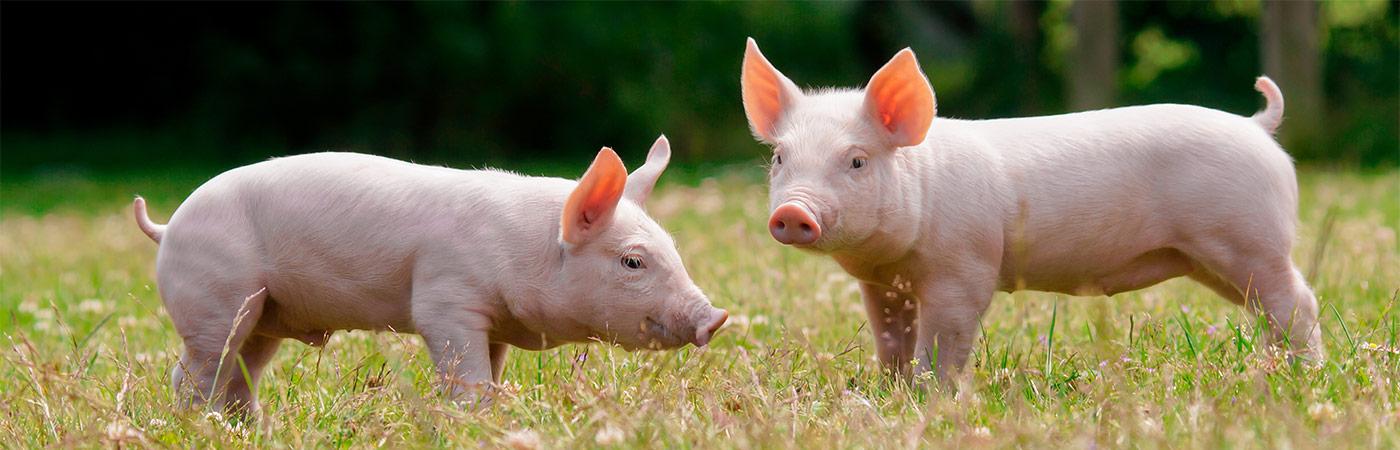homeslider-pigs